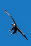 Mature Bald eagle in flight with legs out approaching to land