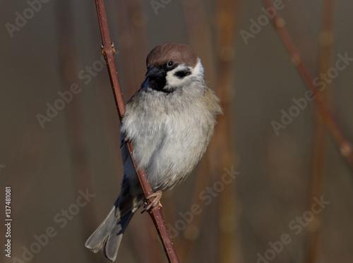 Poster Tree Sparrow - Passer montanus