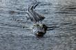 Florida Alligator in everglades close up portrait