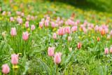 Tulip flower fields