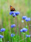 Butterfly on a spring meadow flowers blue