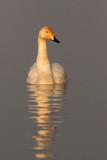 Whooper swan, Cygnus cygnus on the lake