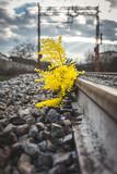 Mimosa gialla vicino al binario di una ferrovia. Festa della donna concetto.