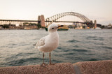Seagulls at Sydney Harbour at dusk