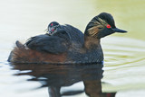 Black-necked grebe (Podiceps nigricollis) swimming in water with chick, the Netherlands