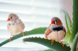 the pets a zebra finch.