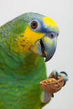 Amazon green parrot eating a nut close up