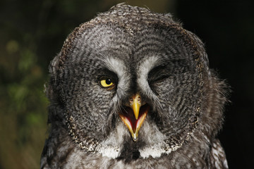 Great Grey Owl (Strix nebulosa) head portrait, captive