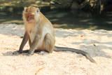 Wild monkey on sand
