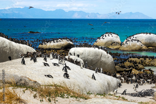 Aluminium Pinguin Penguins (Spheniscus demersus) at Boulders Beach, Table Mountain National Park, South Africa