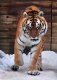 Tiger  running at camera