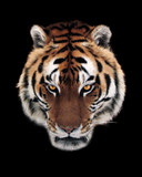 Tiger face isolated at black