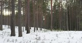 cold winter evening in pine forest with, 4k 60fps prores footage