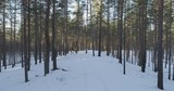 Aerial forward flight in winter pine forest in sunset, 4k drone footage