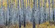 Forest of aspen trees in Autumn in Jasper National Park, Alberta, Canada