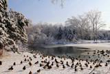 Ducks in winter landscape