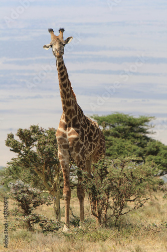 Poster Giraffe Standing