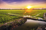 Rice fields and sunset background in Thailand