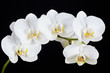 The branch of white orchid on a black background