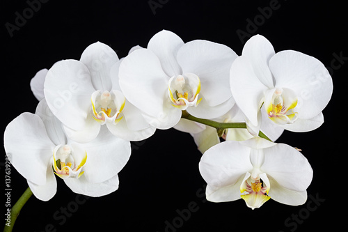 The branch of white orchid on a black background - 137639283