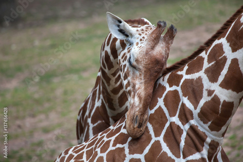 Poster Reticulated giraffe (Giraffa camelopardalis reticulata).