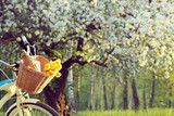 bicycle picnic outdoors/wicker basket with a bouquet of dandelions and retro bottle on the background of the spring landscape