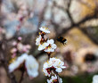 White flowers of the cherry tree and bumblebee.