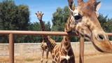 giraffe nello zoo - 137688472