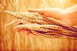 Wheat ears in man