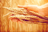 Wheat ears in man's hand. Harvesting concept