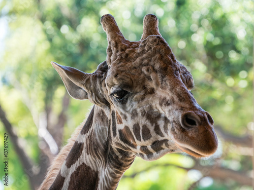 Poster Giraffe Head Portrait