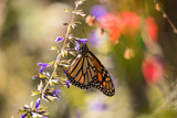 Monarch butterfly gathering nectar from purple salvia