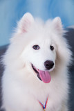 Samoyed dog puppy sitting on a background
