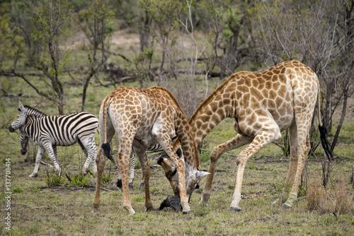 Poster Girafe, Giraffa camelopardalis, Parc national Kruger, Afrique du Sud