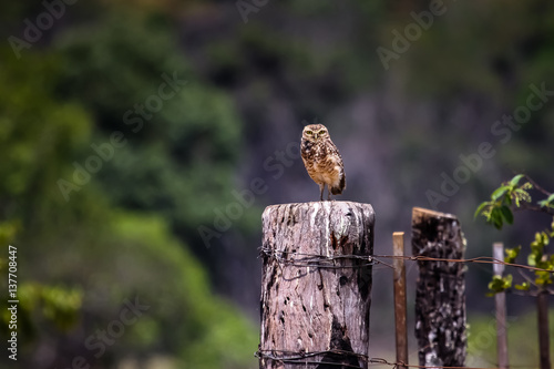 Poster Burrowing owl on a fence, Chapada dos Guimaraes, Brazil