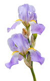 Beautiful purple iris flowers isolated on white background