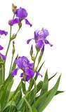 Beautiful purple iris flowers isolated on white background