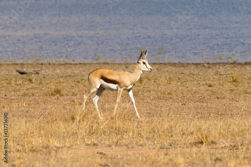 Fotobehang Leeuw antelope from South Africa, Pilanesberg National Park. Africa