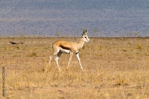 Fotobehang Overige antelope from South Africa, Pilanesberg National Park. Africa