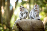 Long-tailed macaque in Sacred Monkey Forest