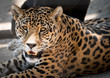 Spotted Leopard Portrait