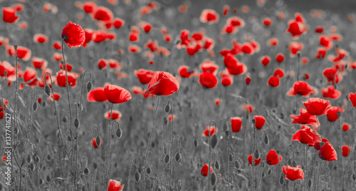 Wild poppies field in the evening light, panorama-black and white version