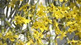Dendrobium friedericksianum orchid of Chanthaburi ,Thailand