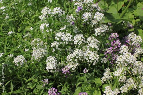 Hintergrund von rosa und weißen Blumen alissum 8214