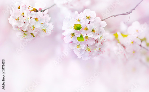 Big beautiful pink and white cherry flowers in spring outdoor macro close-up on a soft blurred light background. Floral background desktop wallpaper a postcard. Romantic soft gentle artistic image.