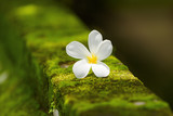 White Plumeria flower on moss. Natural background. Bali, Indonesia.