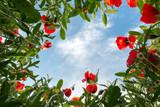 Bug's view on poppy field