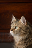 A Maine Coon cat wistfully stares out a window - 137798844