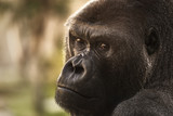 Portrait of a close-up of a silvery back gorilla. - 137825440