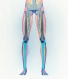 Tibia bone, human anatomy. 3D illustration.